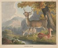 Vintage Illustration of a White Tail Deer (1830)