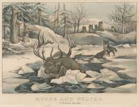 Vintage Wolf Pack Hunting a Moose Illustration