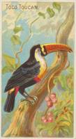 Vintage Illustration of a Toucan (1889)