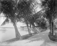 Vintage Palm Tree Beach Trail Photograph (1900)