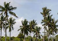 Tall Tropical Palm Trees Photograph