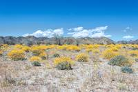 Super Bloom Paradise Joshua Tree California 7292