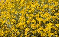 Super Bloom Paradise Joshua Tree California 7295