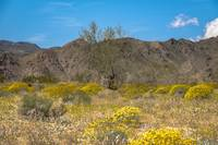 Super Bloom Paradise Joshua Tree California 7305