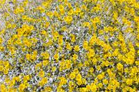 Super Bloom Paradise Joshua Tree California 7294