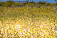 Super Bloom Paradise Joshua Tree California 7318