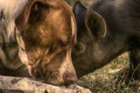 Pig3 and Brandy #4 Sepia