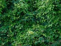Green natural wall