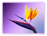 Bird of Paradise wt