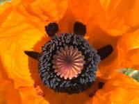 Smiley Face Poppy Flower