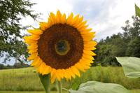 _Delightful Sunflower