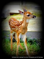 Button Head Fawn