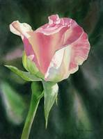 Princess Diana Rose Bud
