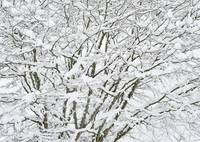 Snow in Japanese Maple