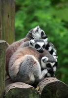 Lemurs at home