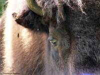 Within the Eye of the Bison