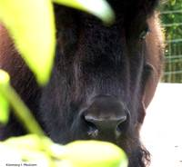 A Bison Hiding in the Plants