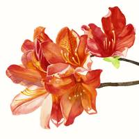 Orange Azalea on White square design