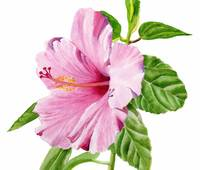 Pink Hibiscus watercolor with white background