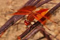Rad winged Dragonfly