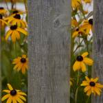 """Black Eyed Susans"" by snarkphoto"