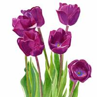 Purple Tulips White Background square design