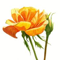 Yellow Orange Rose square design