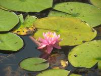 Lilly pad Love