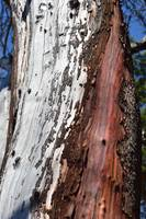 Madrone Tree on San Juan Island - 3