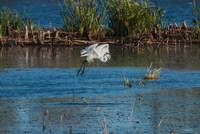 An Egret Takes Wing