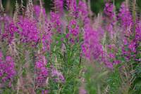 More Kodiak Fireweed