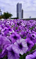Blooming purple petunias in Dubai (UAE)