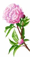 Pink Peony with Leaves and Buds