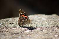 Painted Lady Butterfly Dark and Light