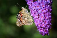 Painted Lady Butterfly on Purple Buddleia
