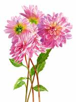 Pink dahlias white background