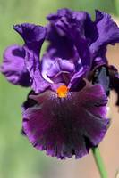 Dark purple Tall Bearded Iris Local Color
