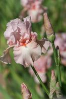 Pink colored Tall Bearded Iris Vanity