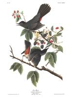Audubon Cat Bird, Plate 128