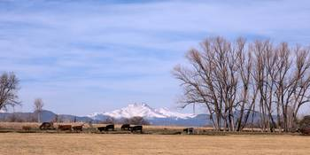 Colorado Springtime Cattle