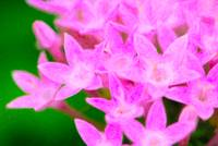 Small Pink Flowers-Full