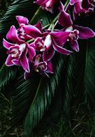 xxTropical Purple Dendrobium Orchids and Sago Palm