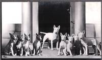 1924-28 BULL TERRIER DOGS PUPPIES LONDON ENGLAND