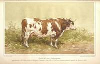 Friborg breed cow 1895