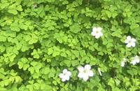 Shamrocks in bloom