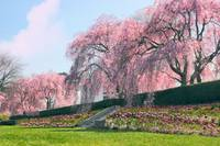 Weeping Spring Cherry