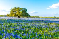 Texas Bluebonnets with Oak Tree