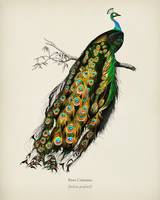 Indian peafowl (Pavo Cristatus) illustrated by Cha