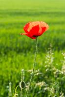 Red poppy with blurred green natural background