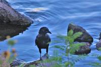 Black Bird, Blue Water